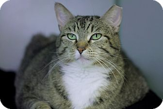 Domestic Shorthair Cat for adoption in Chicago, Illinois - Mama Cass