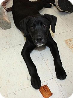 Labrador Retriever Mix Dog for adoption in Cottageville, West Virginia - Kapone