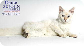 Siamese Cat for adoption in Laplace, Louisiana - Dante