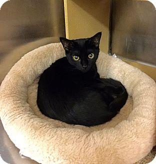 Domestic Shorthair Kitten for adoption in Colmar, Pennsylvania - Lily