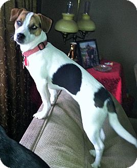 Jack Russell Terrier Mix Puppy for adoption in Buffalo, New York - Mona