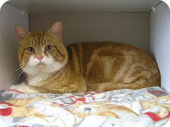 Domestic Shorthair Cat for adoption in Creston, British Columbia - Rufus