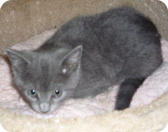 Russian Blue Kitten for adoption in Dallas, Texas - Jacob BlueCat