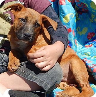 German Shepherd Dog/Australian Shepherd Mix Puppy for adoption in SUSSEX, New Jersey - Boomer (13 lb)