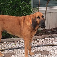 Bloodhound Dog for adoption in Fayetteville, Arkansas - Daphne