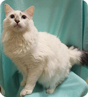 Domestic Mediumhair Cat for adoption in Tallahassee, Florida - Troy