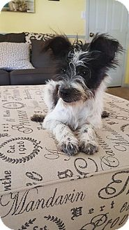 Shih Tzu/Fox Terrier (Wirehaired) Mix Puppy for adoption in Bedminster, New Jersey - Patriot