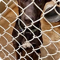 Adopt A Pet :: Angelina - ADOPTED! - Zanesville, OH