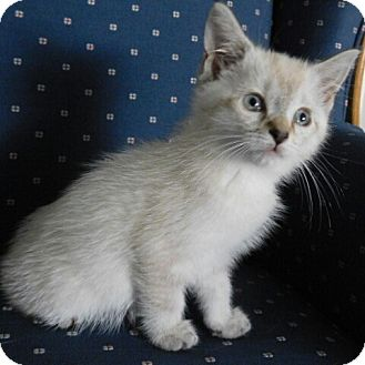 Ragdoll Kitten for adoption in Davis, California - Lacey