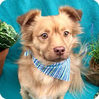 Pomeranian/Spaniel (Unknown Type) Mix Dog for adoption in Irvine, California - Simba