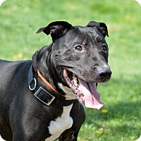 American Staffordshire Terrier Mix Dog for adoption in Westampton, New Jersey - SinJin  35037907  *In Foster*