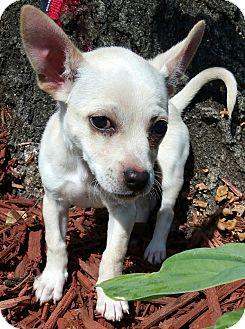 Chihuahua Mix Puppy for adoption in Bridgeton, Missouri - Bear