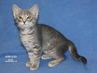 Domestic Mediumhair Kitten for adoption in Hanford, California - *SQUIRT