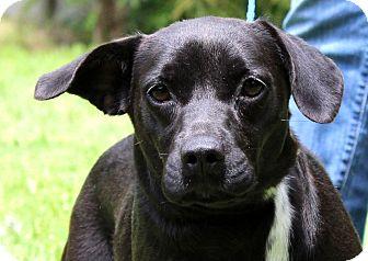 Beagle/Labrador Retriever Mix Dog for adoption in Glastonbury, Connecticut - Gabby