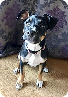 Hound (Unknown Type)/Rottweiler Mix Puppy for adoption in Haggerstown, Maryland - Lucy