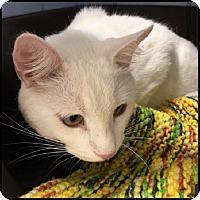 Adopt A Pet :: Snowball - Colorado Springs, CO