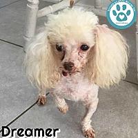 Adopt A Pet :: Dreamer - Kimberton, PA