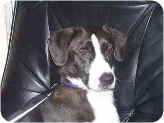 Border Collie/Dachshund Mix Dog for adoption in Salem, Oregon - Blake