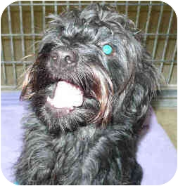 Cairn Terrier/Poodle (Miniature) Mix Dog for adoption in San Clemente, California - COMET