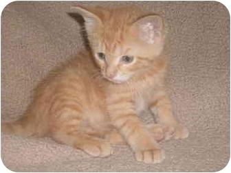 Domestic Shorthair Kitten for adoption in Kirkwood, Delaware - Bambi