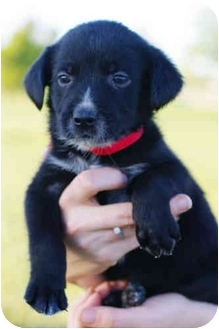 Border Collie/Labrador Retriever Mix Puppy for adoption in Westminster, Colorado - DOMINO