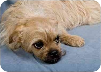Pug/Yorkie, Yorkshire Terrier Mix Dog for adoption in Anna, Illinois - CARLEE