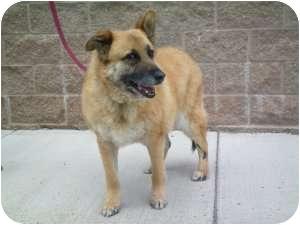 Shepherd (Unknown Type) Mix Dog for adoption in Colorado Springs, Colorado - Buddy