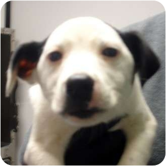 Australian Shepherd/Labrador Retriever Mix Puppy for adoption in Manassas, Virginia - Bing