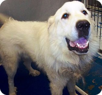 Great Pyrenees Puppy for adoption in Oswego, Illinois - Glacier
