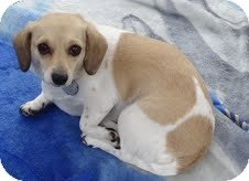 Dachshund Mix Dog for adoption in Santa Monica, California - Rose