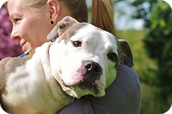 American Pit Bull Terrier Mix Dog for adoption in Reisterstown, Maryland - Nayla