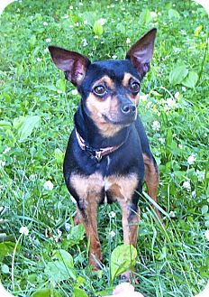 Miniature Pinscher/Chihuahua Mix Dog for adoption in Mocksville, North Carolina - Belle
