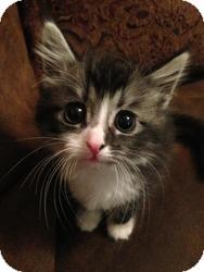 Maine Coon Kitten for adoption in Winchendon, Massachusetts - Solo