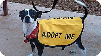 Chihuahua/Miniature Pinscher Mix Dog for adoption in Grass Valley, California - Raider