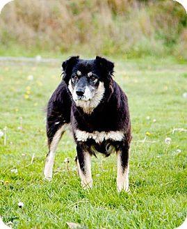 Shepherd (Unknown Type)/Collie Mix Dog for adoption in Kingston, Washington - Maisey