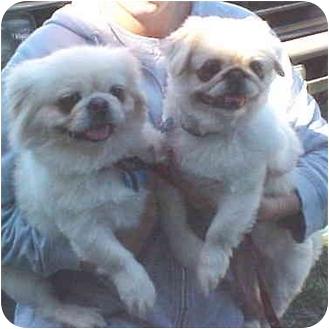 Pekingese Mix Dog for adoption in Spring Valley, California - Gizmo & Gigi