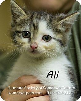 Egyptian Mau Kitten for adoption in Somerset, Pennsylvania - Ali