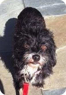 Terrier (Unknown Type, Small)/Poodle (Miniature) Mix Dog for adoption in Encino, California - Iris