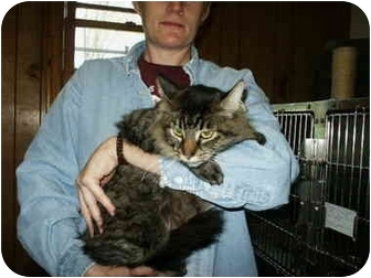 Domestic Longhair Cat for adoption in Mason City, Iowa - Zoey