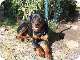 Rottweiler Dog for adoption in Tracy, California - Fritz
