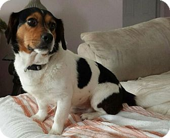 Beagle/Jack Russell Terrier Mix Dog for adoption in Bunnell, Florida - Magic