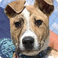 Adopt A Pet :: Nikki - Santa Rosa, CA