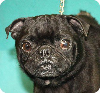 Pug Mix Dog for adoption in Jackson, Michigan - Puglsy