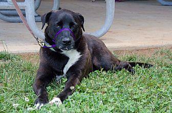 Labrador Retriever Mix Dog for adoption in Midlothian, Virginia - Sylvester
