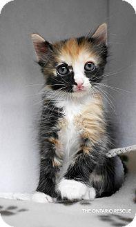 Calico Kitten for adoption in Montclair, California - Kara