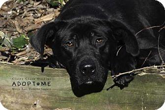 Labrador Retriever Mix Dog for adoption in Edwardsville, Illinois - Mercedes