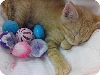 Domestic Shorthair Kitten for adoption in Sparta, Illinois - Frank
