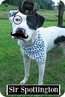 American Staffordshire Terrier Mix Dog for adoption in Menomonie, Wisconsin - Sir Spottington