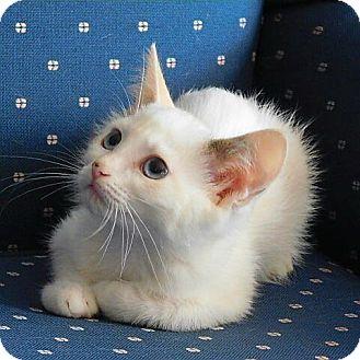 Siamese Kitten for adoption in Davis, California - Isabella