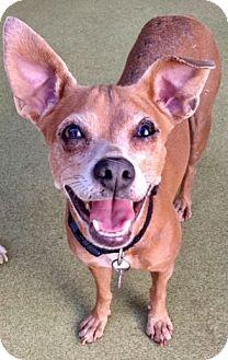 Italian Greyhound Mix Dog for adoption in Los Angeles, California - VIVIAN (video)